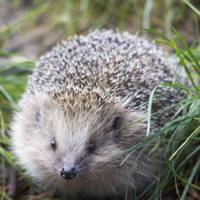 Brian May's hedgehog, Percy