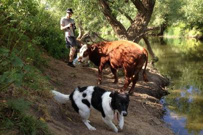Pandora having an encounter with a cow in the Avon Valley