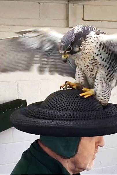 Falcon breeding for a ...