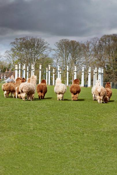 Alpacas at 'Ironhenge' a circle of columns from the old St Pancras station, at Fawley Hill.