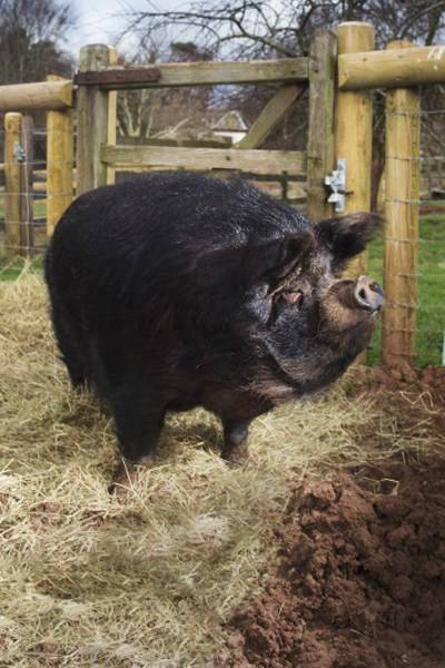 Richard Hammond's pig, Treacle