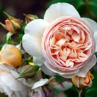David Austin's Juliet rose