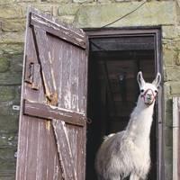 Matthew Paris's llama, Darren