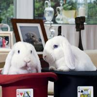 Paul Daniel's bunnies, Gil and Hopper Seven