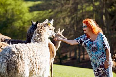 Feeding time: Lady McAlpine with her alpacas, deer & goats.