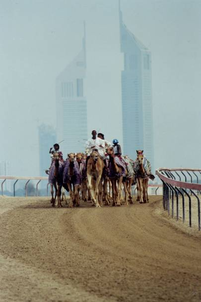 Camels at the racetrack, in front of the Dubai skyline